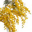 Branch of mimosa — Stock Photo