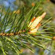 Foto Stock: Branch of pine with cone