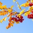 Brunch of rowan over blue sky — Stock Photo