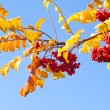Brunch of rowan over blue sky - Stock Photo