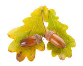Acorns with oak leaves — Stock Photo