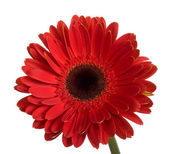 Beautiful big red gerbera flower — Stock Photo