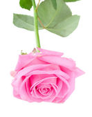 Beautiful pink rose isolated — Stock Photo