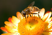 Bee on flower collects nectar — Stock Photo