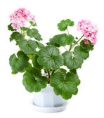 Blossoming geranium in pot — Stock Photo