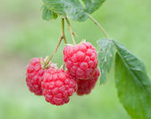 Branch of four ripe raspberries — Stock Photo