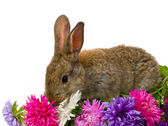 Bunny and aster flowers — Stock Photo
