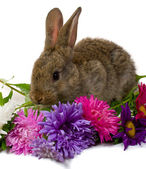 Bunny take aster flowers — Stock Photo