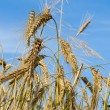 Close-up wheat ears — Stock Photo