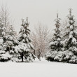 Fir forest covered with snow — ストック写真