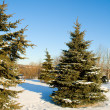 Fir trees with snow on blue sky — Foto Stock