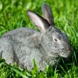 Gray rabbit in grass — Stock Photo #1801861