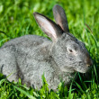 Gray rabbit in grass — Stock Photo