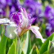 Iris flower — Stock Photo #1802555