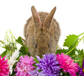 Close-up small bunny and aster flowers — Stock Photo