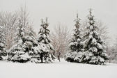 Fir forest covered with snow — Stock Photo