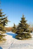 Fir trees with snow on blue sky — Stock Photo