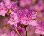 Flowers of rhododendron — Stock Photo