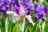Iris çiçeği — Stok fotoğraf