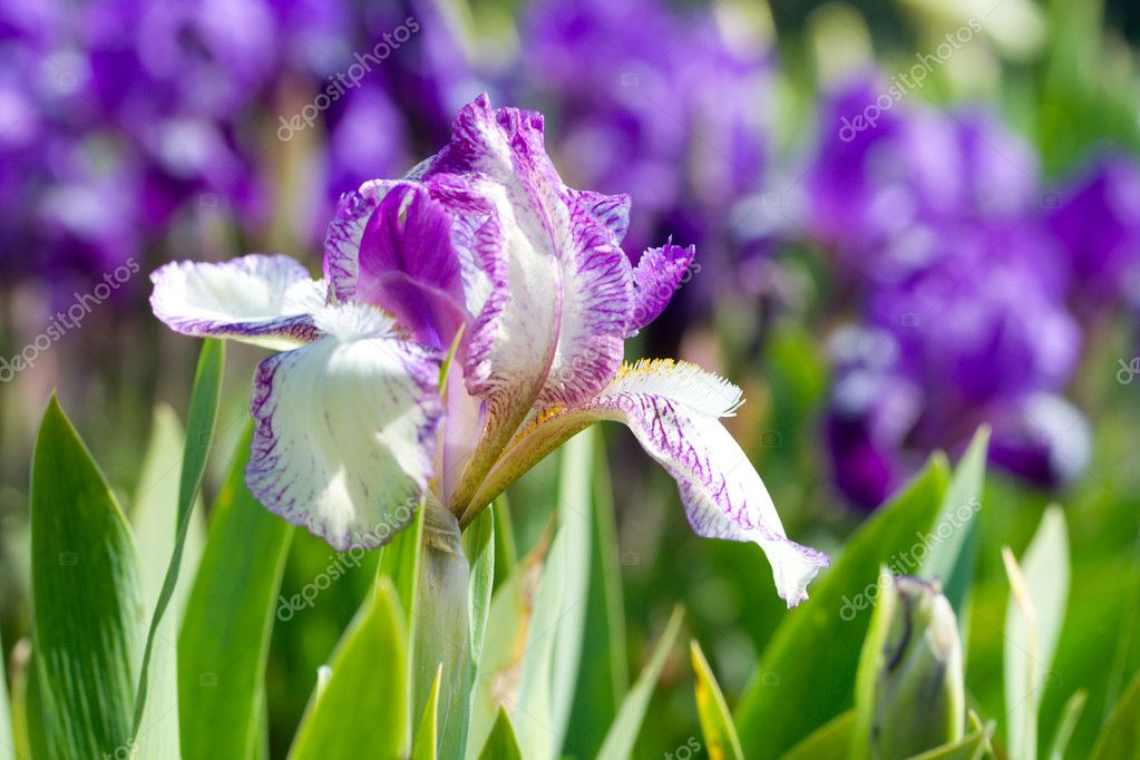 Close-up iris flower on field  Stock Photo #1802555