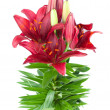Lily isolated - Stock Photo