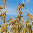 Many ripe wheat ears on blue sky - Stock Photo