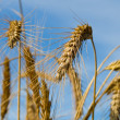 Many wheat ears on blue sky — Stock Photo