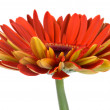 Red gerbera flower side view — Stock Photo #1816381