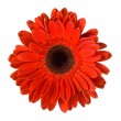 Red gerbera flower — Stock Photo