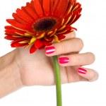 Red gerbera in woman hand — Stock Photo