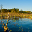 Rushy swamp in forest landscape — Stock Photo