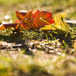 Fallen yellow maple leaves — Stock Photo