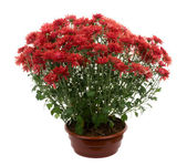 Many chrysanthemum flowers in pot — Foto de Stock