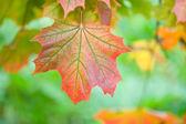 Feuille d'érable en automne — Photo