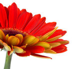 Part of red gerbera flower — Stock Photo