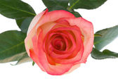 Närbild rosa och vit ros isolerade — ストック写真