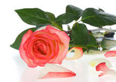 Pink and white rose with petals — Stock Photo
