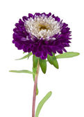 Purple-white aster isolated — Stock Photo