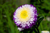 Purple-white aster on green grass — Stock Photo