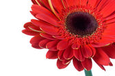 Red gerbera flower isolated — Stock Photo