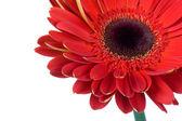 Flores gerbera roja aislada — Foto de Stock