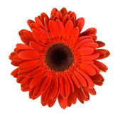 Red gerbera flower — Stockfoto