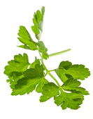 Sprig of parsley — 图库照片