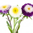 Three violet-white asters — Stock Photo