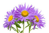Three violet asters — Stock Photo