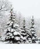 Klidné zimní borový les — Stock fotografie