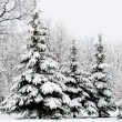 Tranquil winter fir forest — Foto de Stock