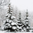 Tranquil winter fir forest - Stock Photo
