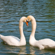 Two white swans in love — Stock Photo