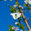White butterfly on cherry branch — Stock Photo